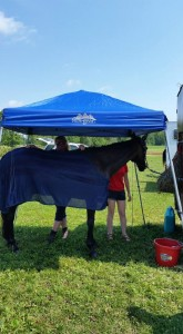 Mowgli trying to keep cool after dressage at Stevens Creek HT.